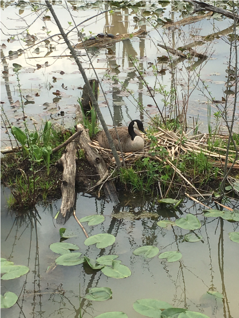 goose and turtles at beaver marsh