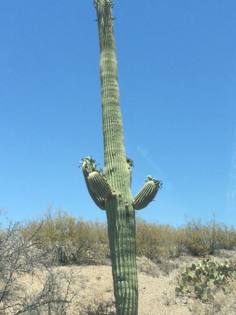 saguaro8